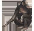 Immagine Scimpanzé
