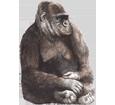 Immagine Gorilla