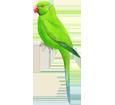 Immagine Cocorita verde